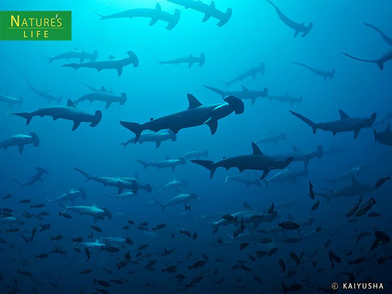 神子元島ダイビング ハンマーヘッドシャークの群れ